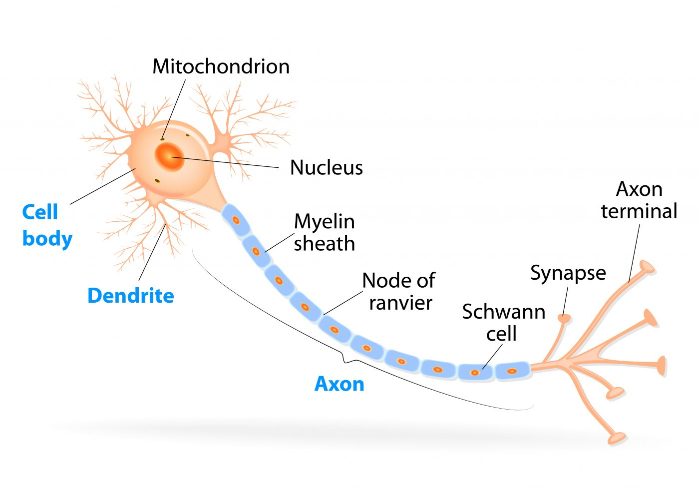 Small Molecule May Trigger Huntington's Disease by Damaging Axons