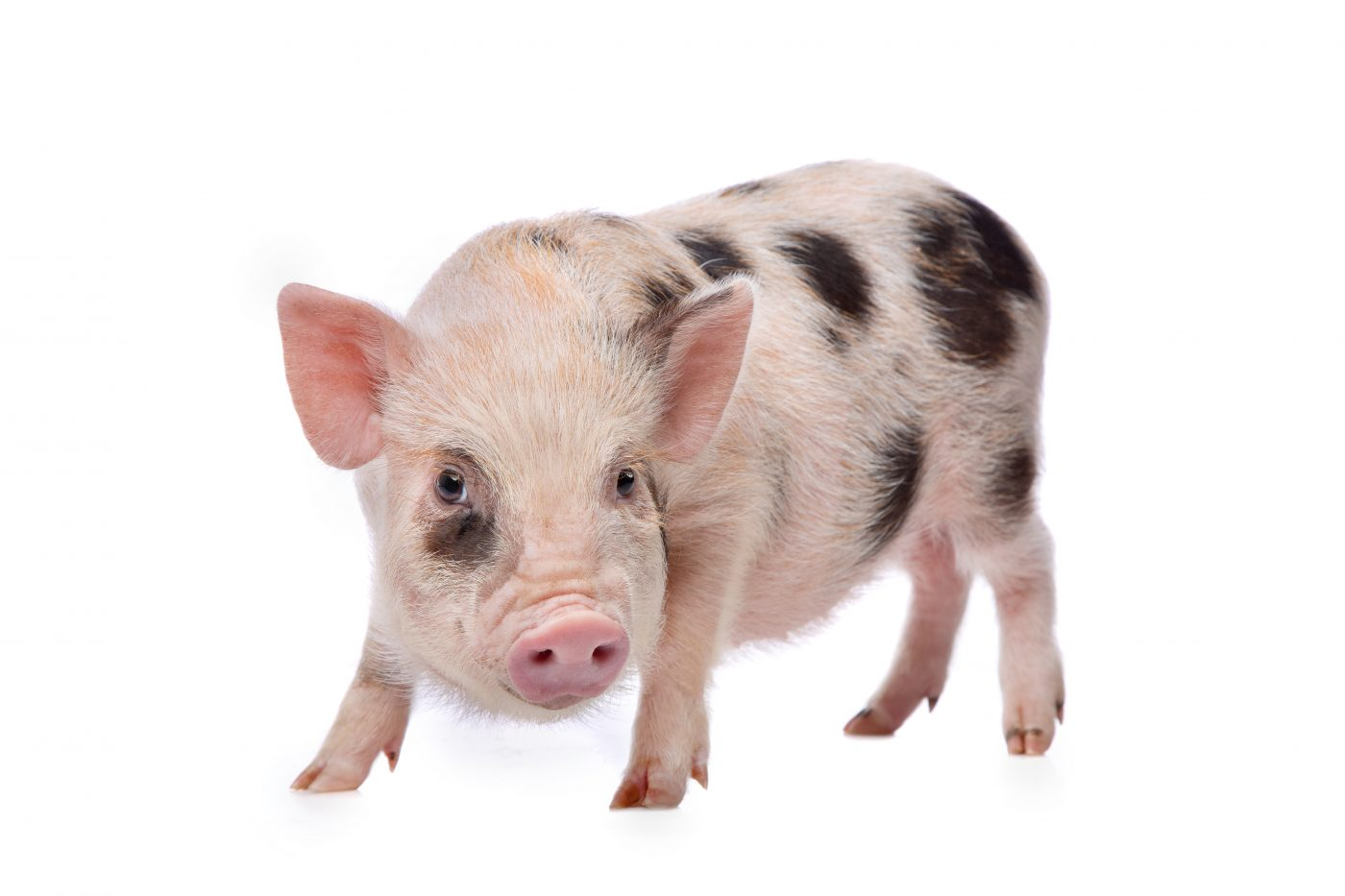 FDA Clears Genetically Engineered Mini Pig Model For Use in Research And Drug Development