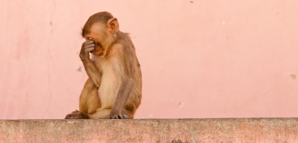 Monkey Models Show Human Symptoms of Huntington's Disease