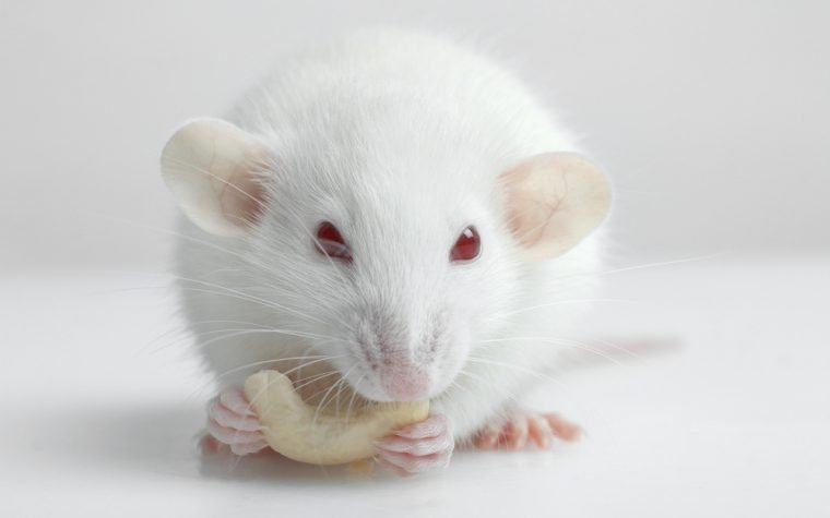 mouse model of disease study