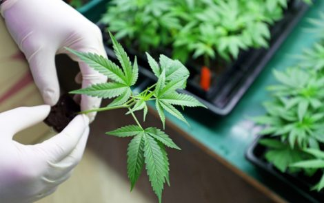 MMJ BioScience Licensed in Canada to Make Cannabis-based Medicine for Huntington's Studies